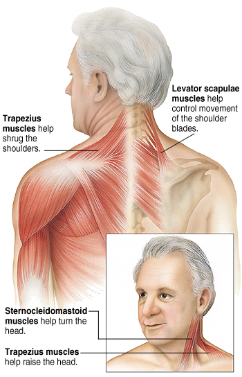 Back view of man showing muscles. Trapezius muscles help shrug shoulders. Levator scapulae muscles help control movement of shoulder blades. Front view of man showing neck muscles. Sternocleidomastoid muscles help turn head. Trapezius muscles help raise head.