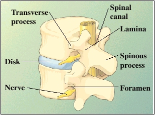 Image of the various parts of the vertebrae